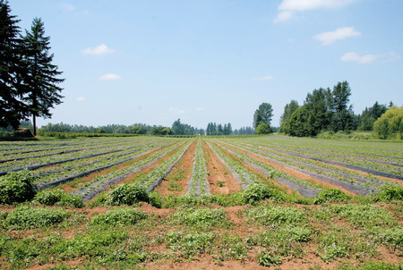 acres: Acres of strawberry plants ripen in the Springtime sun.