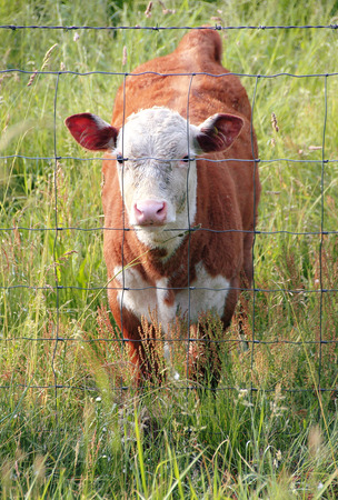 A curious calf stands by the fence to watch the stranger. Stock Photo