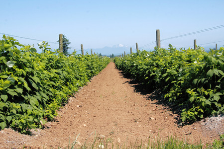 as far as the eye can see: Two rows of strawberries stretch out as far as the eye can see.