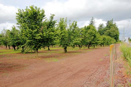 is established: A long established orchard of Hazelnut trees in Washington State.