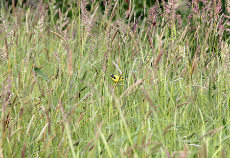goldfinch: An American Goldfinch also known as the Eastern Goldfinch forages in tall grass. Stock Photo