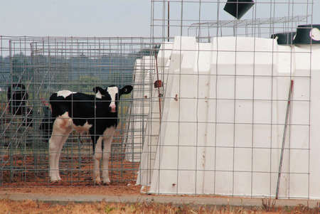 confined: A calf is caged by its hutch where it will remain confined for the rest of its life. Stock Photo