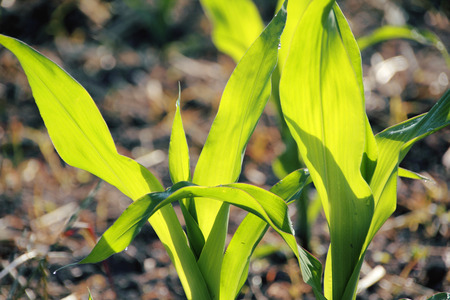 Close on corn growing in the spring sunshine. Stock Photo