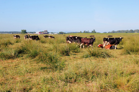 plains: Washington dairy cows gather in the wide open plains of western Washington State.