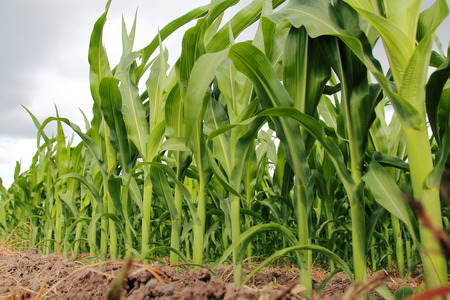 low  angle: Low angle view of ripening corn in the field.