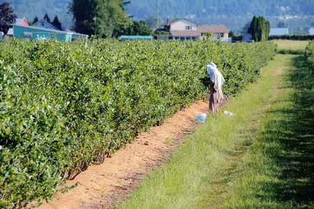 migrant: An East Indian migrant worker picks berries in the field. Stock Photo
