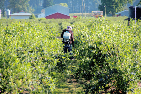 back pack: A farmer uses a back pack sprayer to treat his berries.
