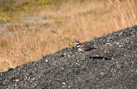 fullbody: An adult Killdeer stands near rural grassland during the summer season. Stock Photo