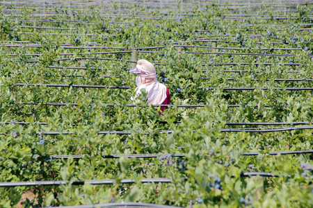 A person is hired to pick blueberries. Stock fotó