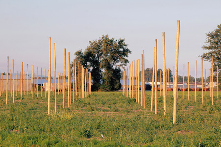 Large poles are used for supporting barley hops.