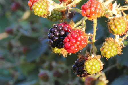 ripening: Wild blackberries during various stages of ripening.