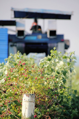 Washington State farmers are busy harvesting their raspberry crops.