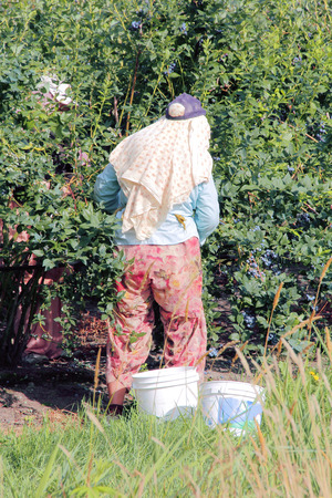 migrant: Agricultural farms hire migrant workers to pick berries