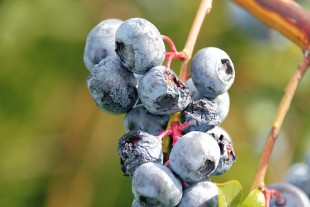 A blueberry crop suffers under severe heat and drought conditions.
