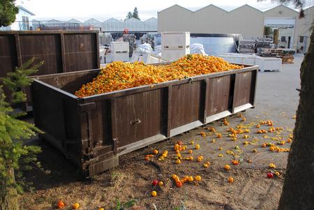 Een industrieel bak wordt gevuld met overstocked pepers.