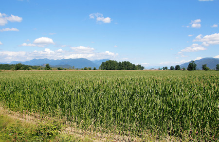 acres: Wide open acres of ripening corn in British Columbias Fraser Valley region Stock Photo