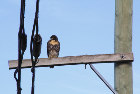 telephone pole: An adult Hawk sits on a telephone pole.