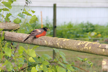 struggles: A Robin struggles with a shattered wing after being hit by a car.