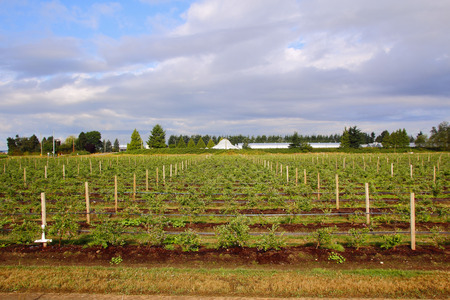 ripening: A ripening strawberry crop in BCs Fraser Valley district in summer