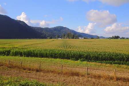 acres: Acres of summer corn ripen in Canadas Fraser Valley district.