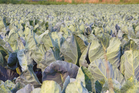 acres: Acres of ripening cauliflower fill the landscape. Stock Photo