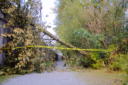 toppled: Strong winds have toppled a tree that has fallen across a walking path. Stock Photo