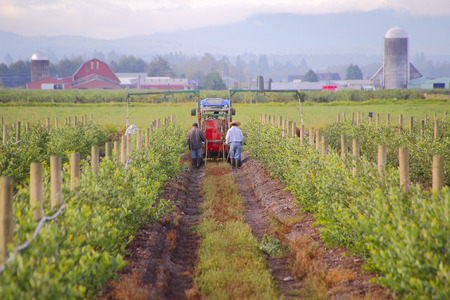 Farm laborers use pesticide to protect berry plants against insects damaging the plants.