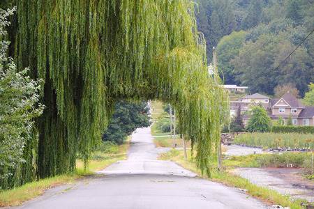 single lane road: A road leads through a Weeping Willow tree.