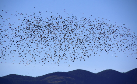 Thousands of common Starlings fly in a coordinated mass.