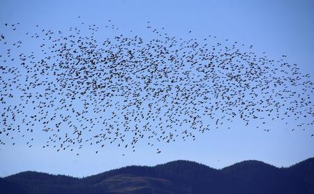 bandada pajaros: Miles de estorninos comunes vuelan en una masa coordinada.