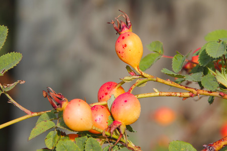 pectin: Close up on wild Gooseberries found in British Columbia on Canadas west coast.