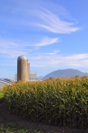 comprise: Tall corn, ready for harvesting and a silo comprise a rural landscape.