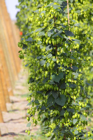 humulus lupulus: Hops, growing on vines, are becoming a popular farm crop in Canada.