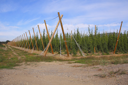 suspend: Supported poles and wires and used to suspend and support hops.