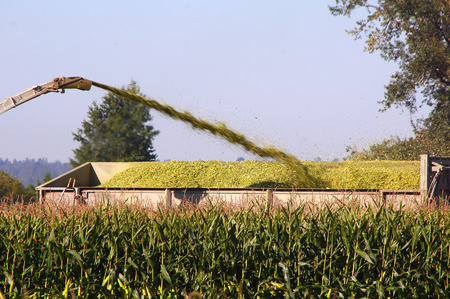 Harvesting field corn will be used for beef cattle feed. Stock Photo