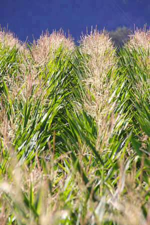 hair tuft: Viewing the top of a corn crop and its hair or silk lit by the summer sun.