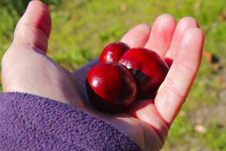 american beech: A handful of bright red chestnuts collected beneath a tree. Stock Photo