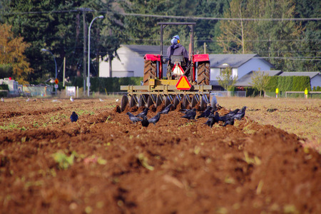 indo: An Indo Canadian farmer ploughs his field where blackbirds scavage for insects