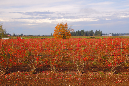 dormant: Acres of blueberry bushes have turn red during the winter months.