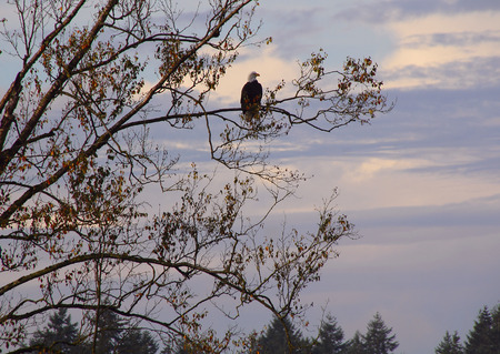 eagle falls: A large adult American Bald Eagle surveys her hunting grounds in northern Washington State.