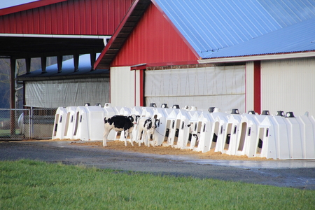 the hutch: Many hutches are lined up for Hereford calv Stock Photo