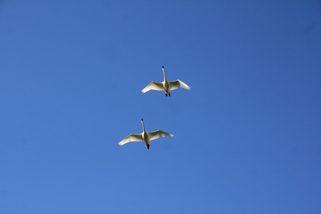 low angle view: Low angle view of Snow Geese flying by.