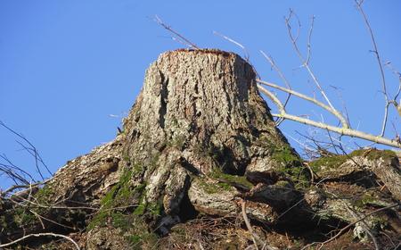 deforestacion: Un tronco de �rbol �nico que simboliza la deforestaci�n.