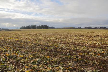 wide open: A Wide open landscape of a cabbage field in winter Stock Photo