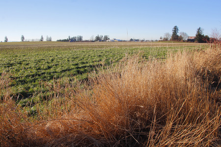 dormant: Tall dry grass stands in front of a dormant winter crop in western Washington State.