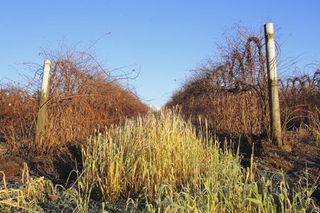 acreage: Winter raspberry plants will still have to be tied and bundled during the winter months.