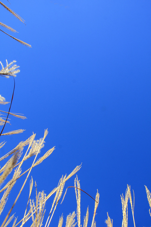 low  angle: A low angle vertical view of winter grass framing a clear, blue sky.
