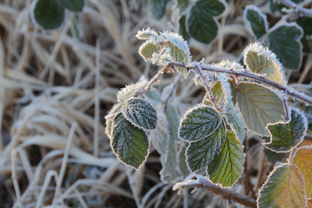 frigid: A cold morning leaves a wild blackberry bush thick with frost. Stock Photo