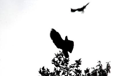 독수리를 공격하는 호크에서 silhouetted, 추상 봐.