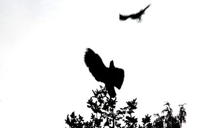 silhouetted: A silhouetted, abstract look at a Hawk attacking an eagle.